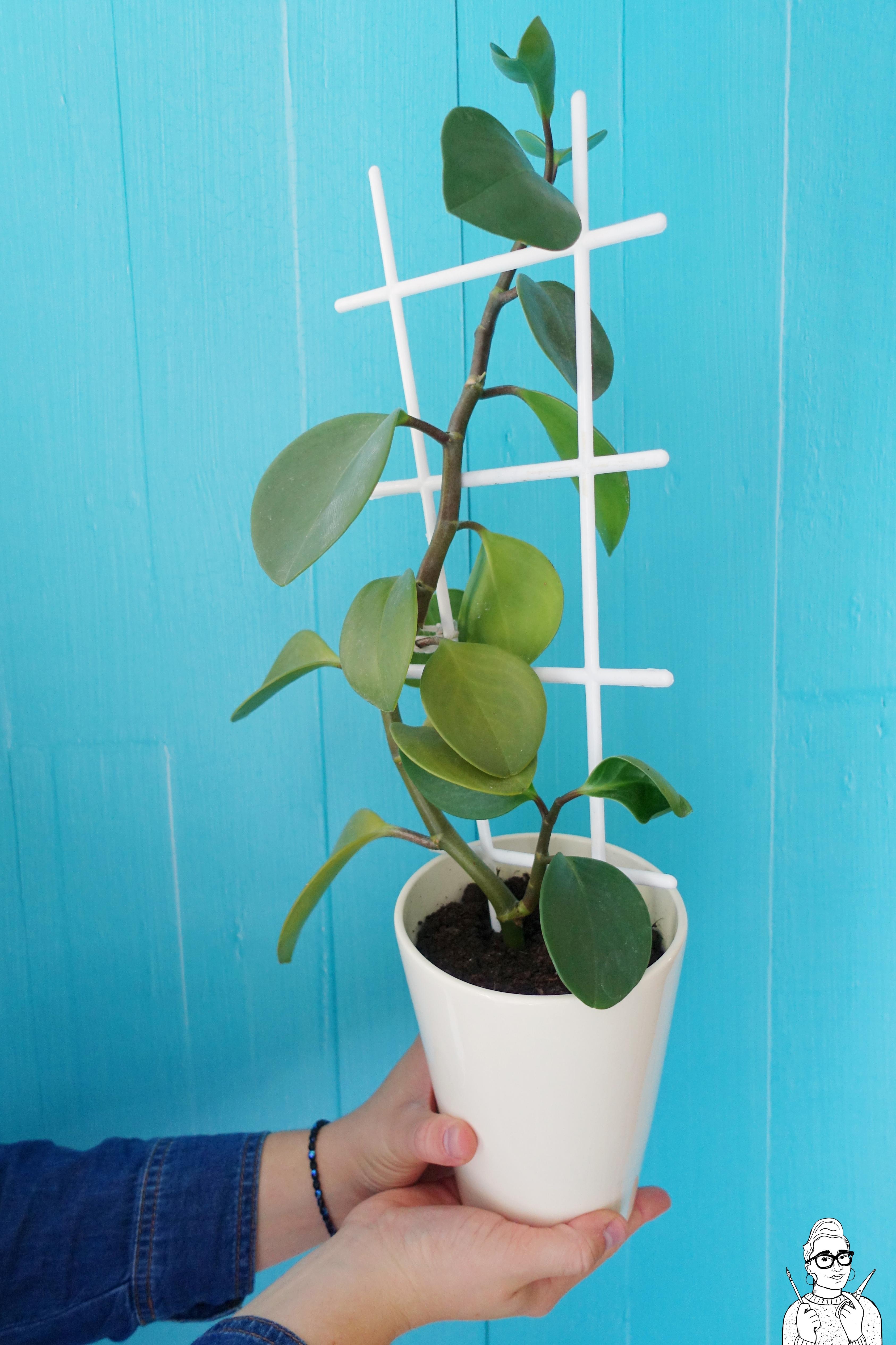 Rośliny dla opornych: Peperomia tępolistna