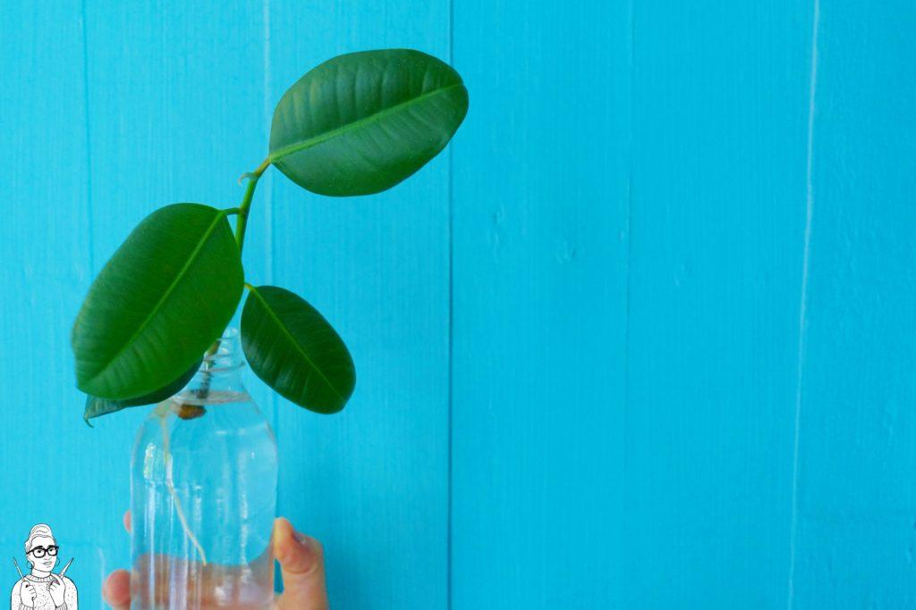 Rośliny dla opornych: Fikus sprężysty