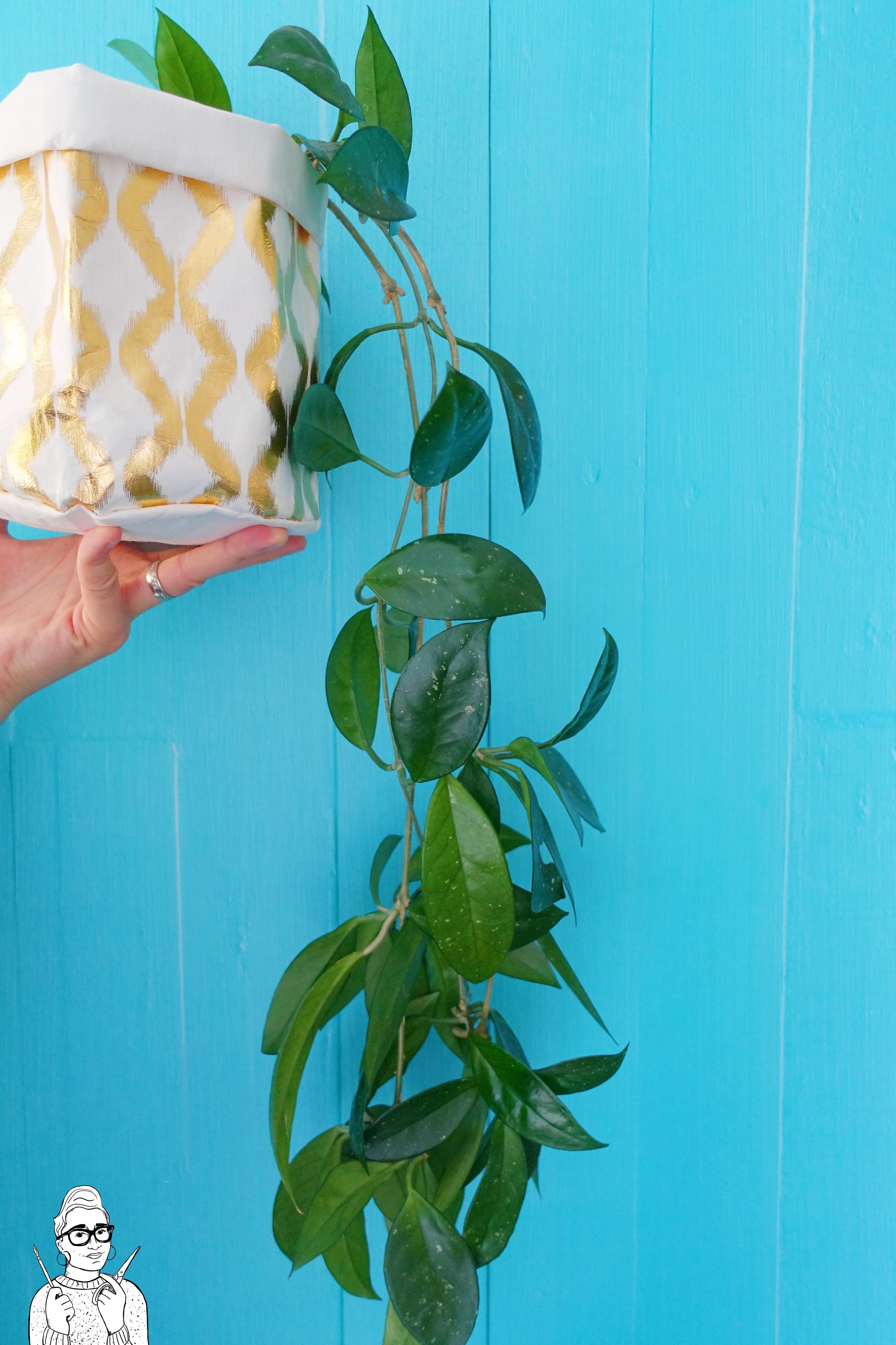 Rośliny dla opornych: Hoja carnosa