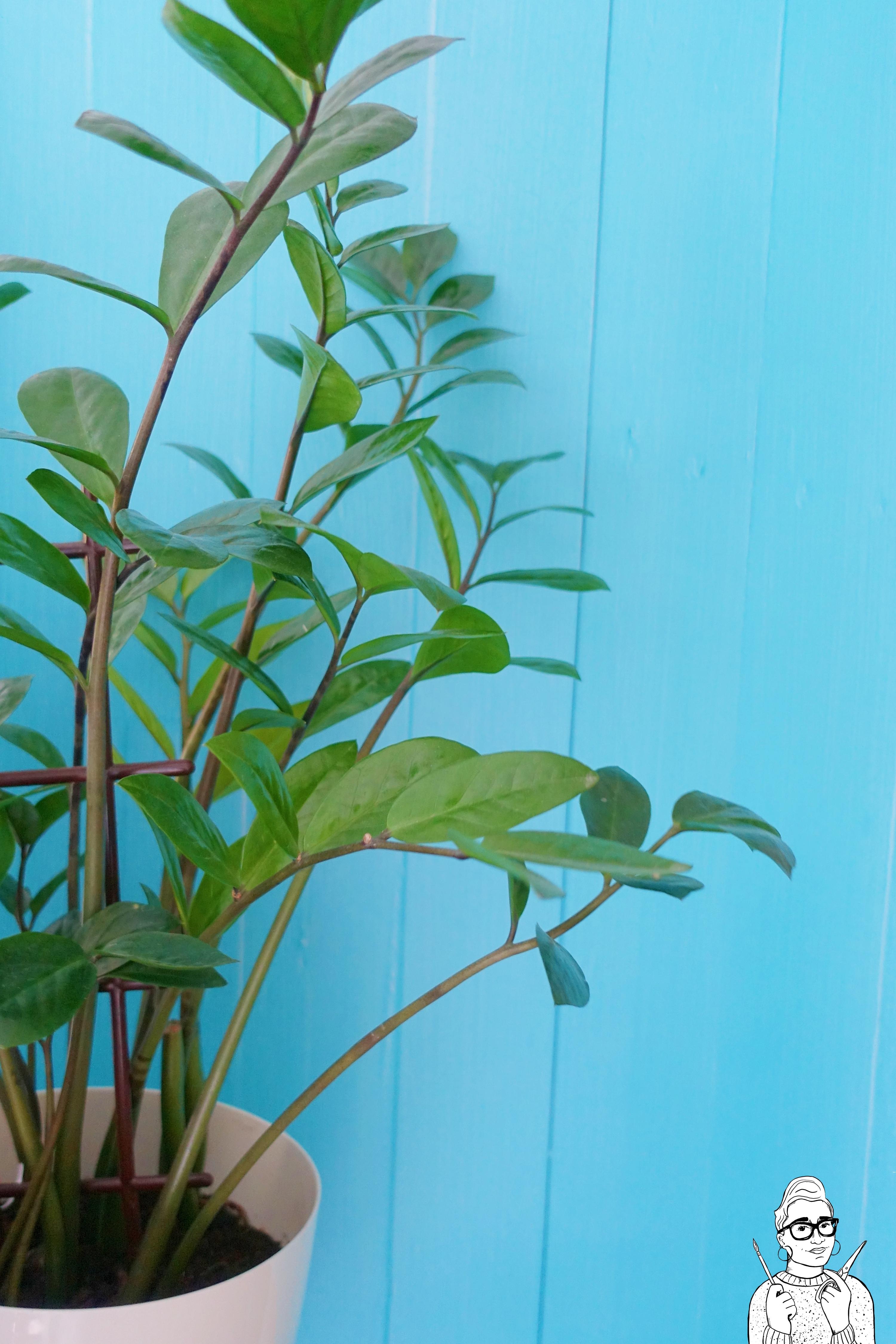 Rośliny dla opornych: Zamiokulkas